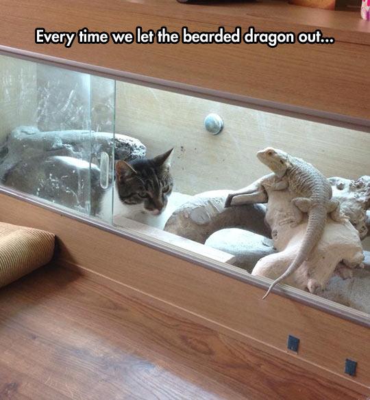 funny-cat-case-bearded-dragon