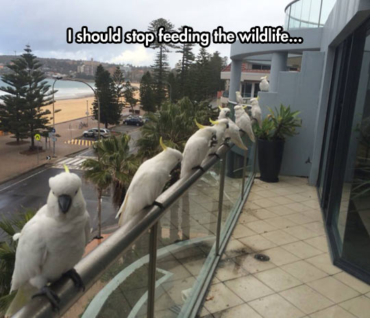 Cockatoos Are Ready For Their Treats