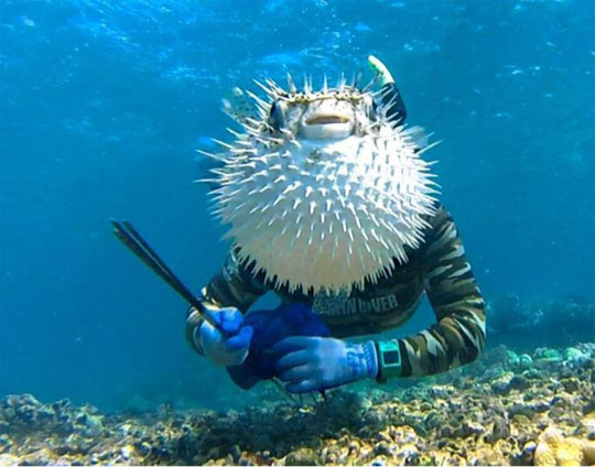 Puffer fish photobomb for Blowfish vs puffer fish