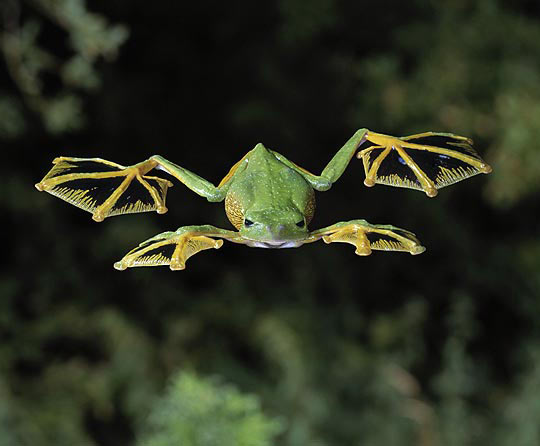 funny-flying-frog-feet-wing