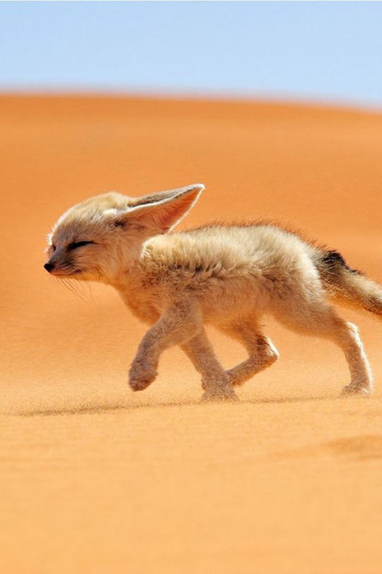Cute Desert Fox
