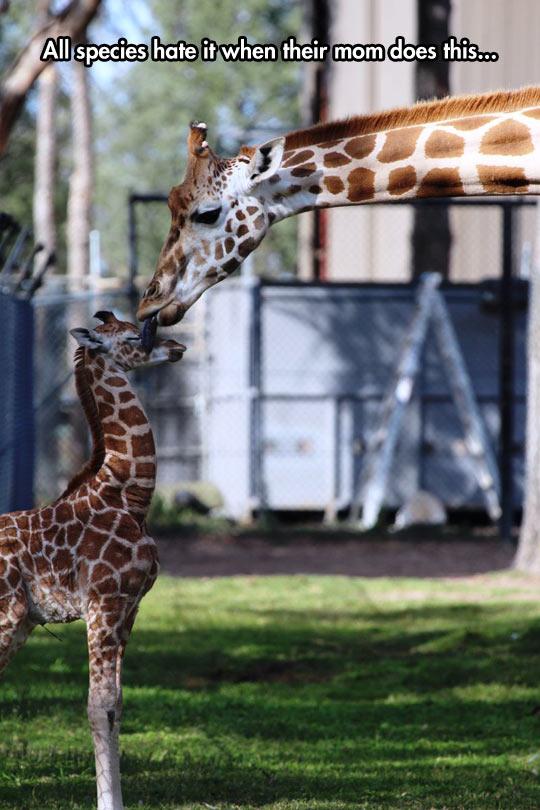 funny-giraffe-baby-mother-licking