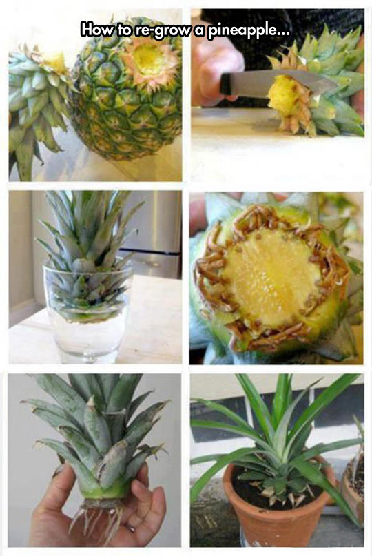 funny-grow-pineapple-pot-water