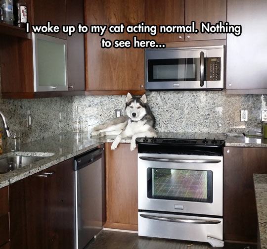 funny-husky-dog-kitchen-above