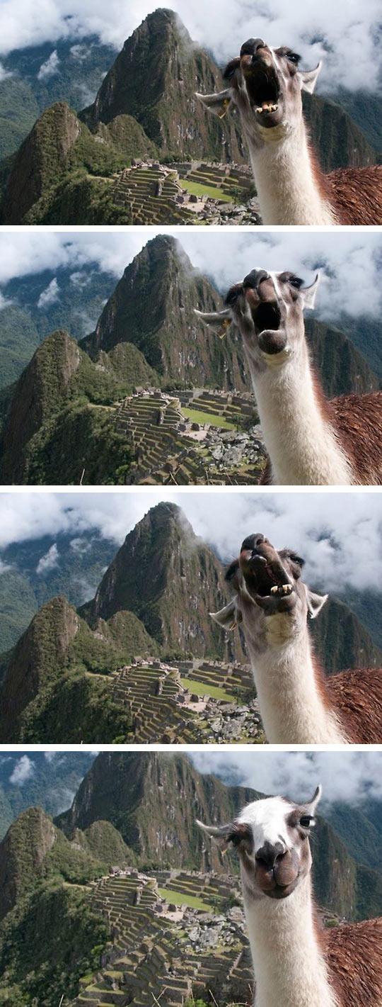 funny-llama-face-smile-Machu-Picchu