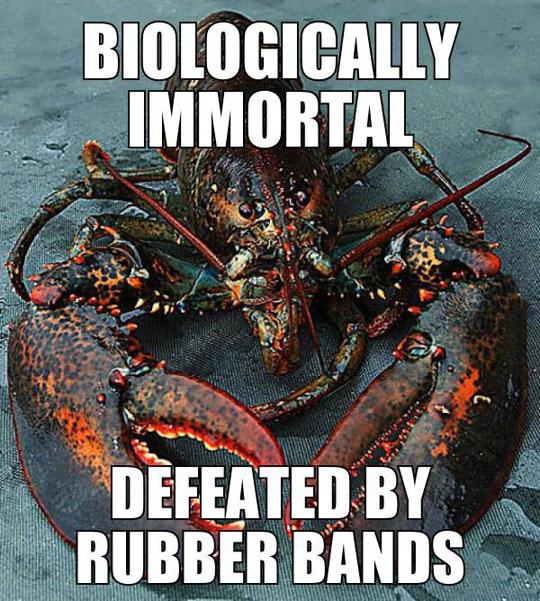 That Poor Lobster