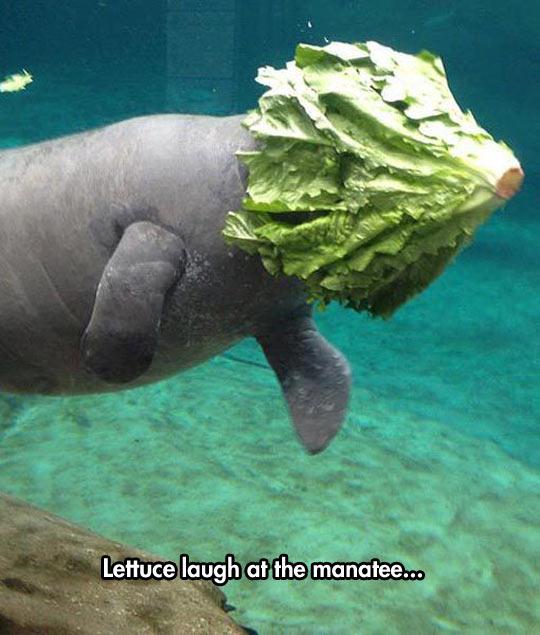 funny-manatee-lettuce-head-swimming