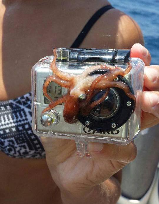 funny-octopus-GoPro-camera-lens
