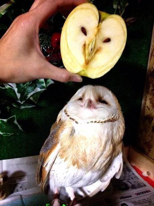 An Owl In An Apple Over An Owl