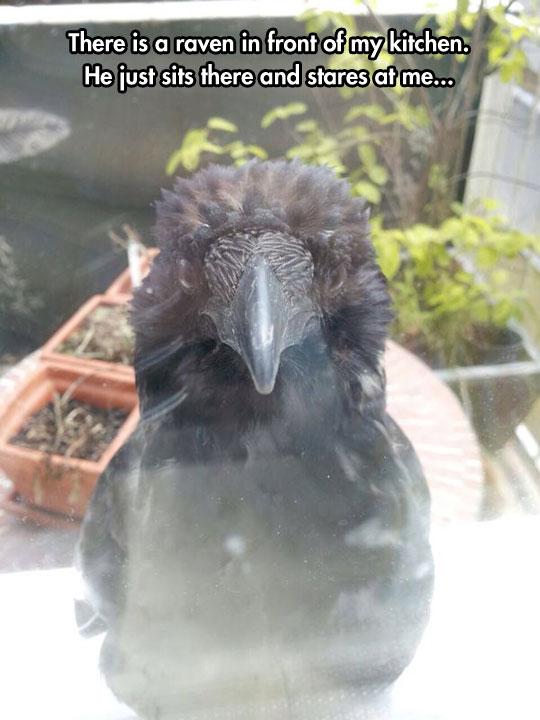 funny-raven-watching-window-creepy