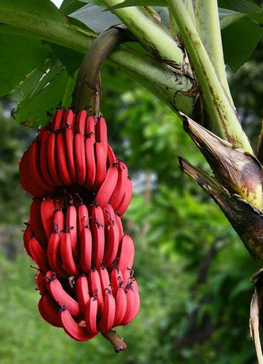 Red Bananas Exist