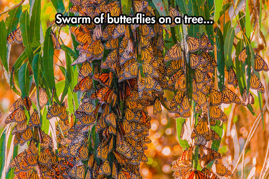 Monarch Butterfly Nest