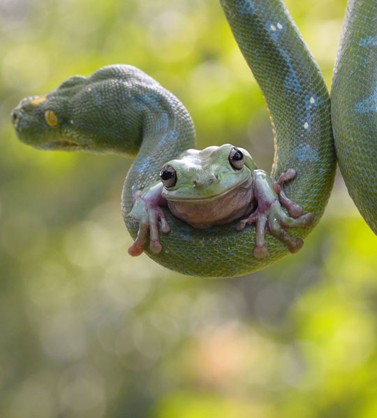 Tree Frog Hitches A Ride On A Python