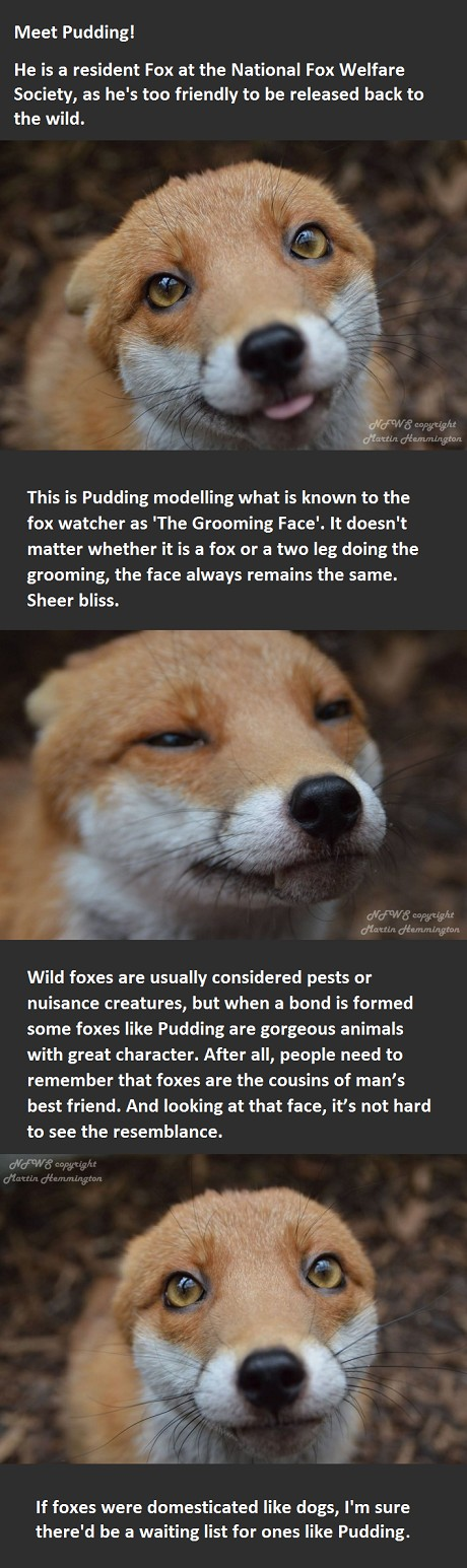 let's have Pudding breed the next generation of domestic foxes