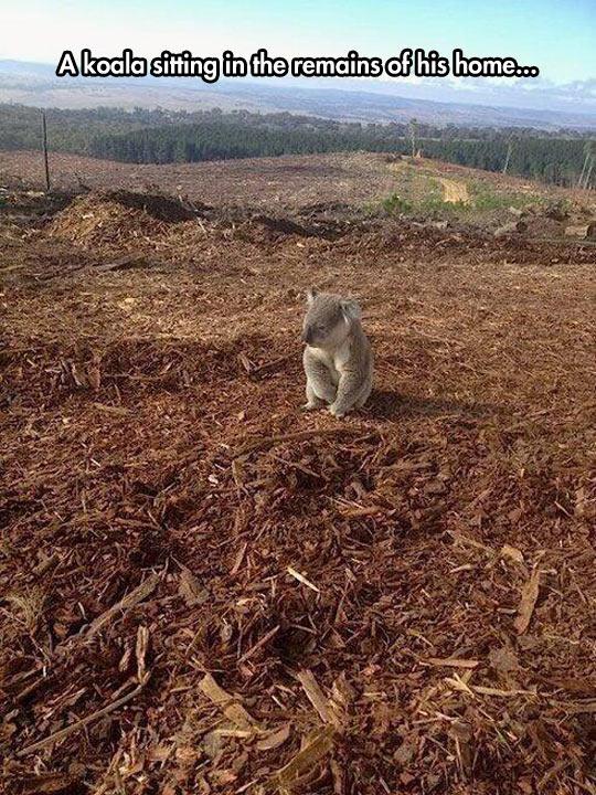 sad-koala-bear-deforestation-sitting