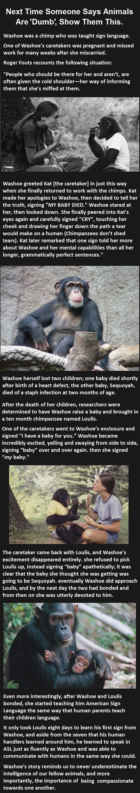 She Told The Chimp She Had Lost Her Baby. What The Chimp Did Next Was Unexpected.