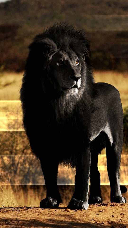 cool-black-lion-savannah-king