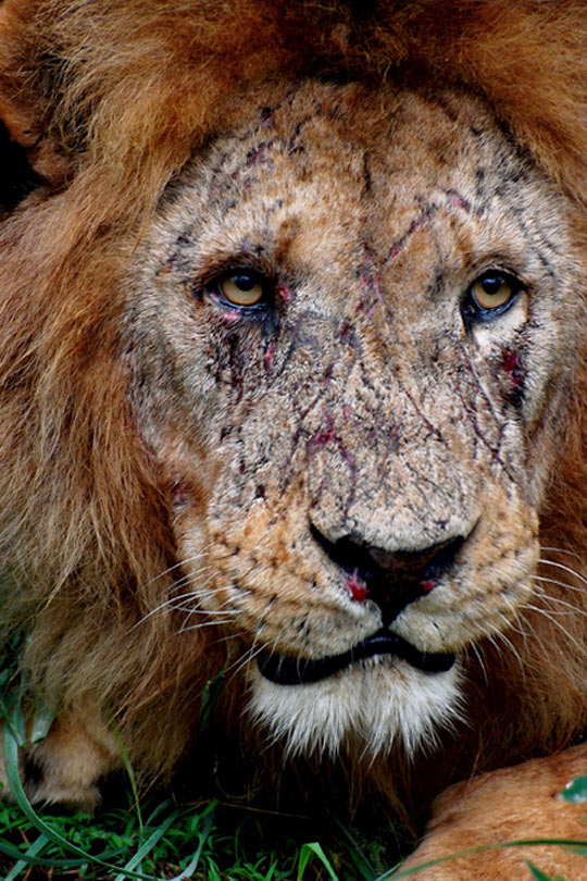 cool-lion-face-wound-scars