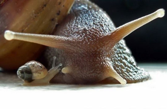 Just A Baby Snail With Mom