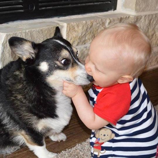 funny-Corgi-baby-licking-nose
