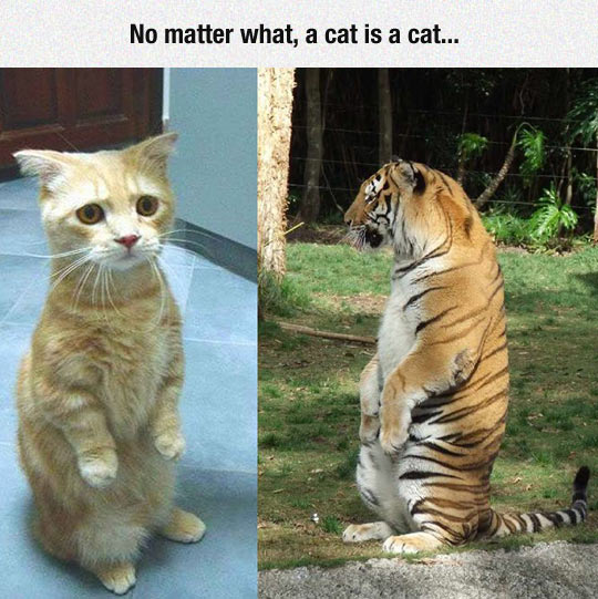 funny-cat-tiger-sitting-hilarious