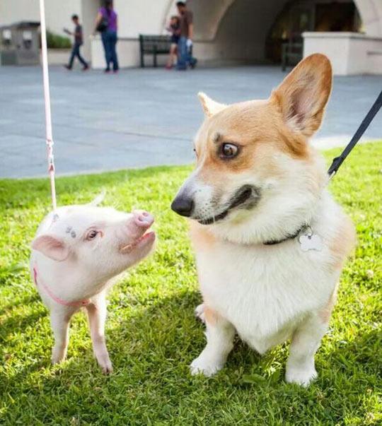 funny-corgi-pig-staring-each-other