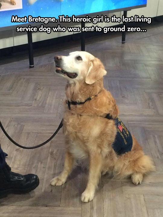 funny-dog-Bretagne-service-dog
