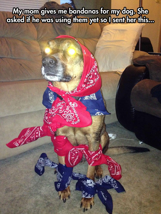 funny-dog-bandanna-dressing-couch