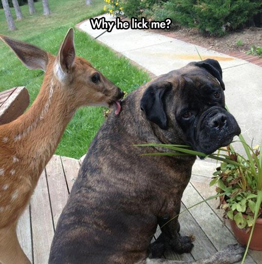 funny-dog-deer-lick-annoying