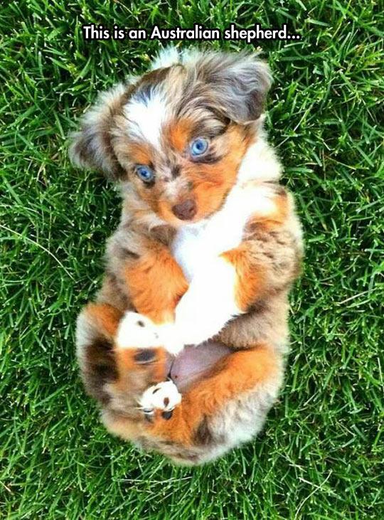 funny-dog-puppy-Australian-Shepherd