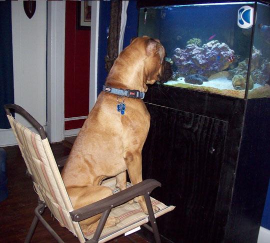 funny-dog-staring-aquarium-fish