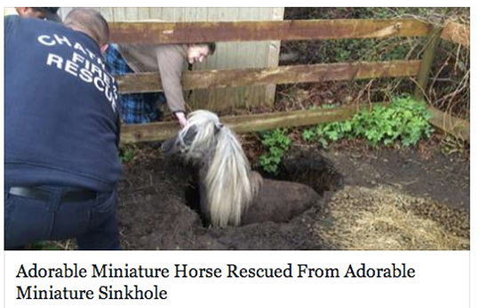 Miniature Horse Trapped