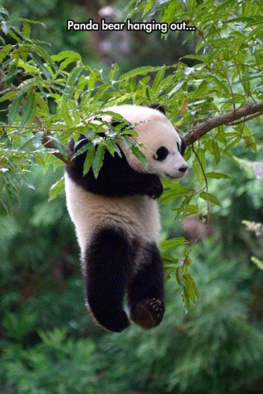 funny-panda-bear-hanging-tree