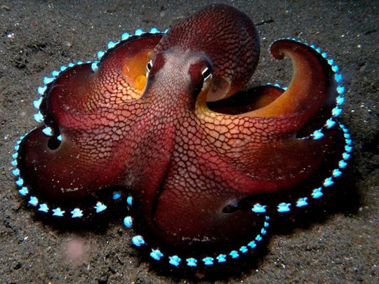 cool-octopus-glowing-bioluminescent