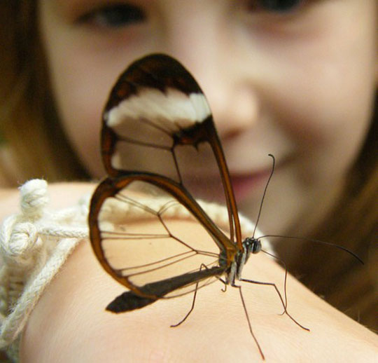 A Beautiful Transparent Butterfly