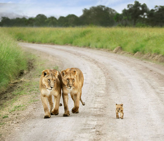 cute-tiger-couple-baby-walking