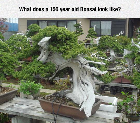 Ancient Bonsai Tree
