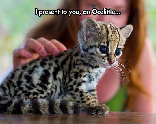 funny-baby-ocelot-beauty-cute