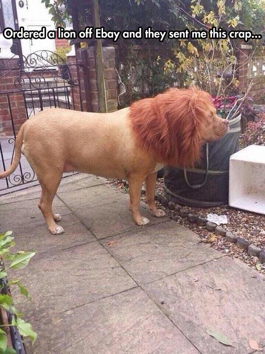 funny-dog-mane-lion-costume