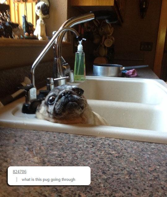Pug Pondering His Life Decisions