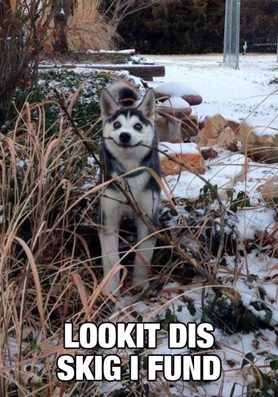 funny-husky-happy-stick-mouth