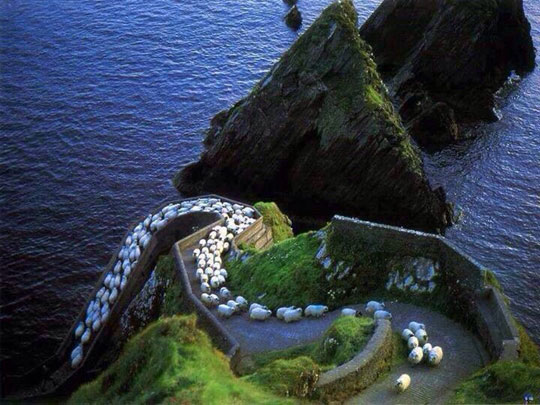 funny-sheep-path-Ireland-mountains