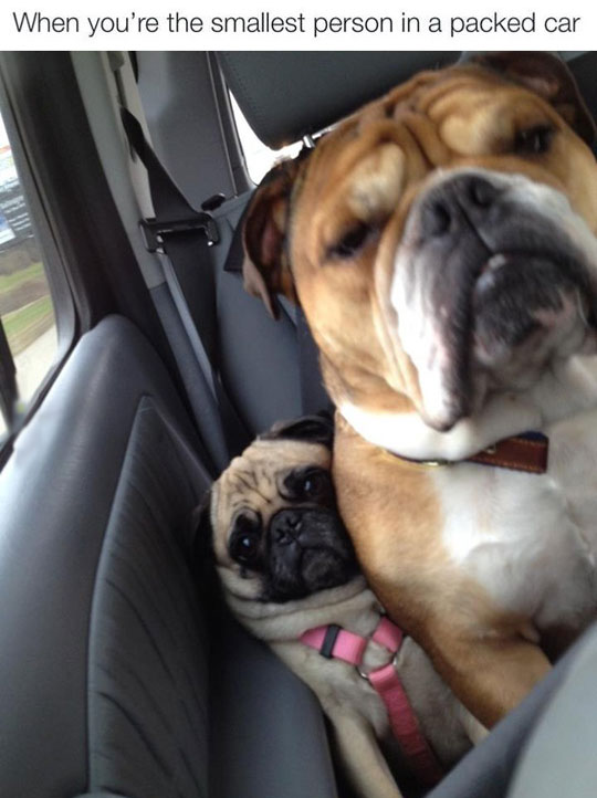 funny-small-dog-car-seat