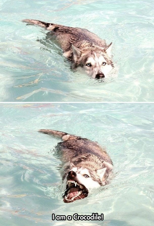 funny-wolf-swimming-crocodile
