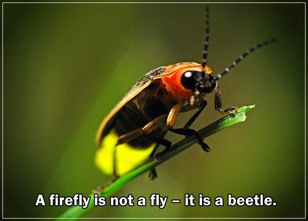 1-firefly