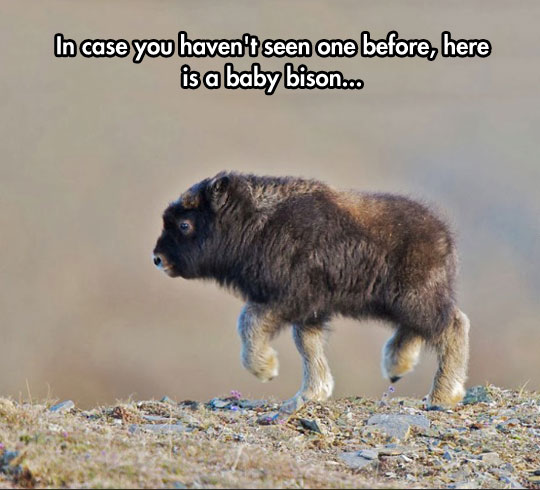 cute-baby-bison-climbing-rocks