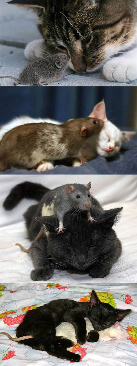 Cat And Mice Love