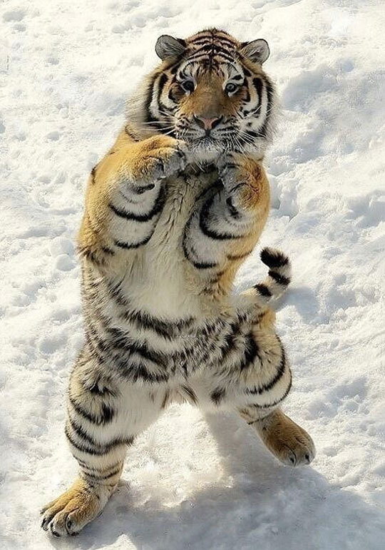 cute-tiger-snow-standing