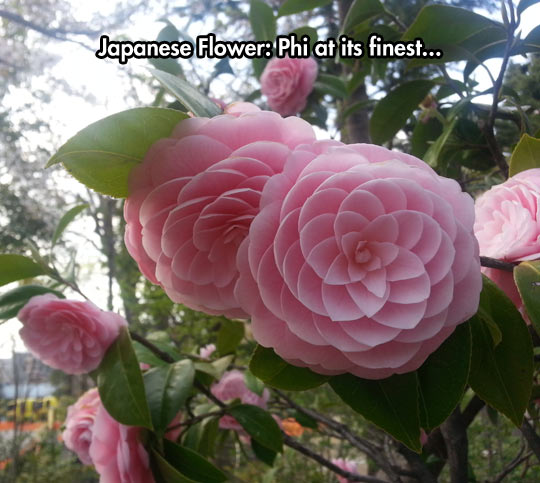 Camellias Are Beautiful Flowers