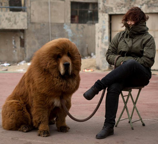 funny-Tibetan-Mastiff-owner-giant